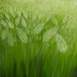 Barley Fields - Oil on Linen, 91cm x 122cm x 3.8cm